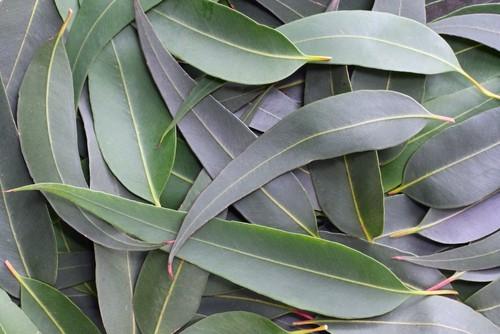 Eucalyptus Radiata Oil 15ml Aroma Good Stuff Melbourne
